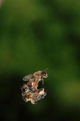 LÕaccouplement se dŽroule en plein vol, ˆ plus de dix mtres de hauteur. La jeune reine, nŽe cinq ˆ six jours auparavant, ne sÕest encore aventurŽe hors de la ruche que pour son vol de reconnaissance. Prte ˆ tre fŽcondŽe car sexuellement mature, elle sort de la ruche par une journŽe de beau temps sans vent. Lˆ, elle sÕaccouple avec une dizaine de m‰les pour remplir sa spermathque. LÕaccouplement est fatal aux faux-bourdons qui se tŽtanisent pour sortir leur endophallus de leur abdomen. Le couple tombe ensuite ˆ terre et la reine se dŽgage, laissant sur le sol son prŽtendant sans vie.