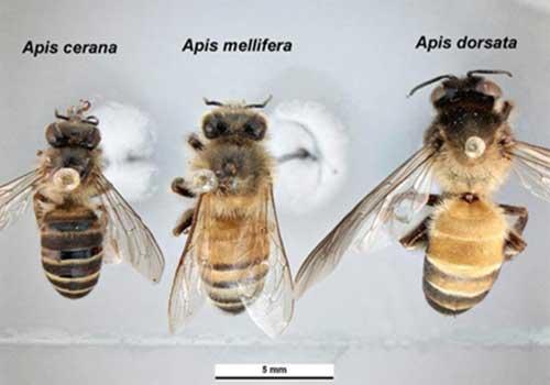 Apis_species